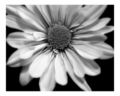 black and white floral pictures