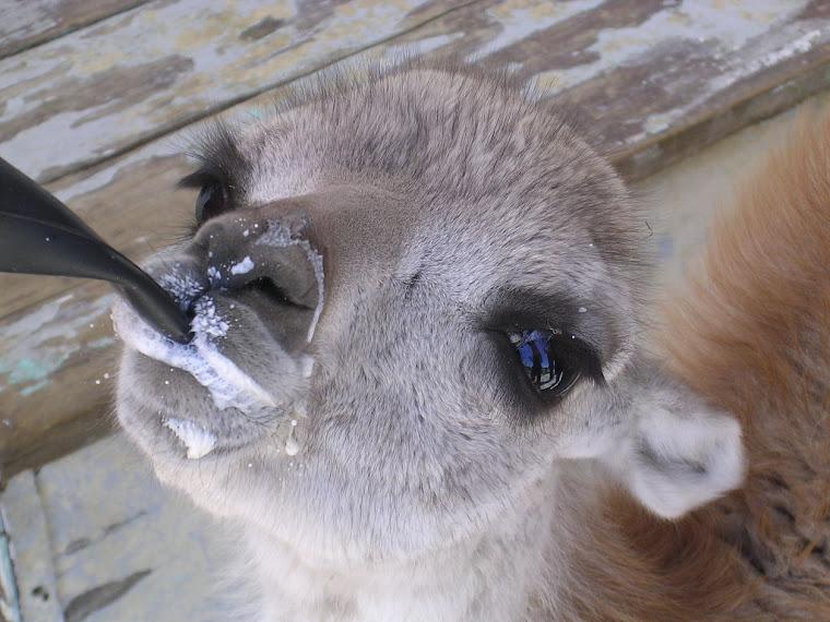 Bébé guanaco au biberon