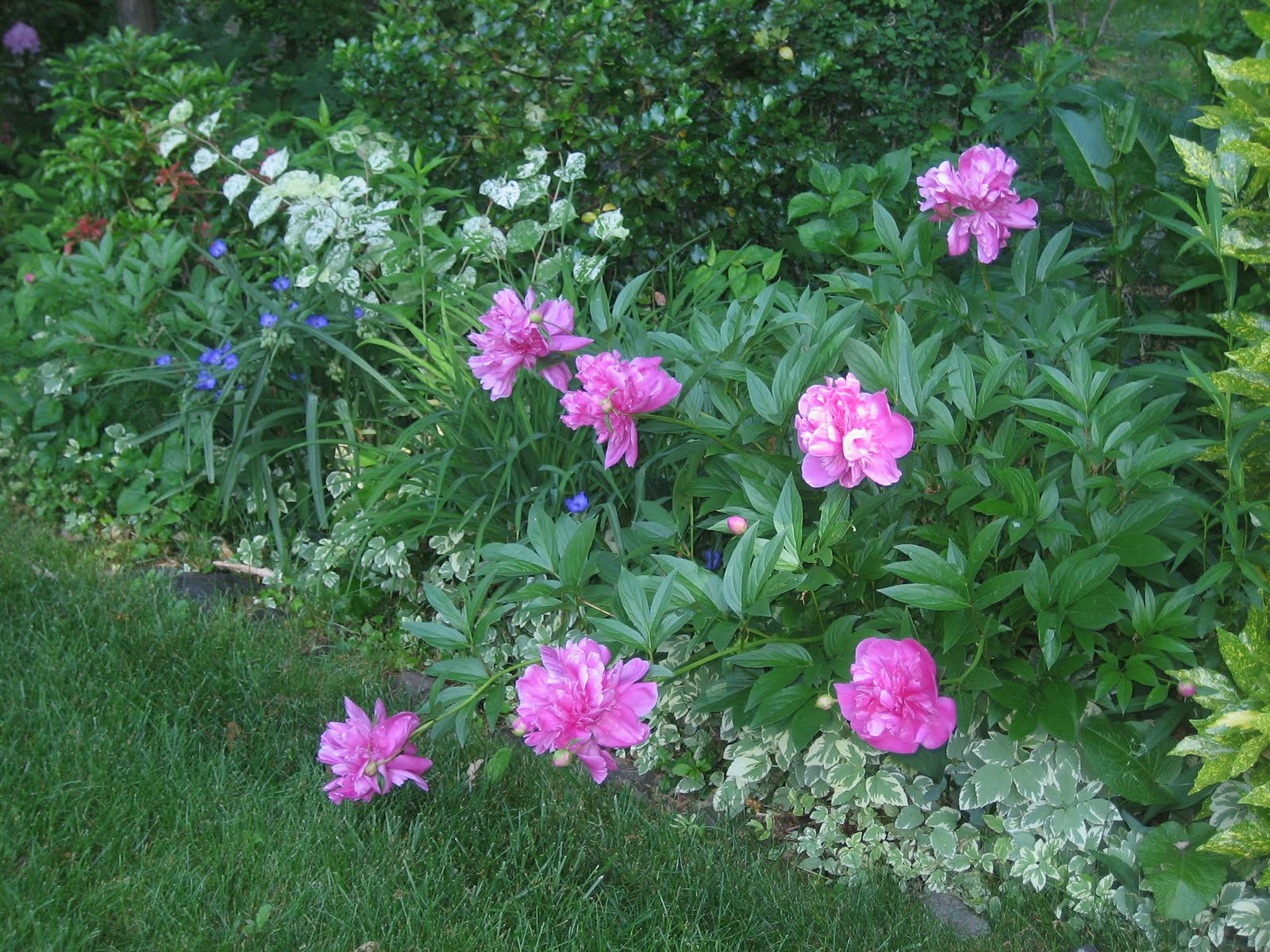 Most beautiful english gardens - Peonies Are One Of The Most Beautiful Flowers On Earth They May Be A Favorite In English Gardens But Certainly A Favorite In My Informal Garden