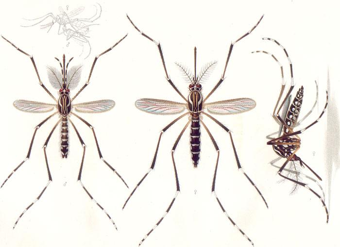 alaskan mosquitos disease
