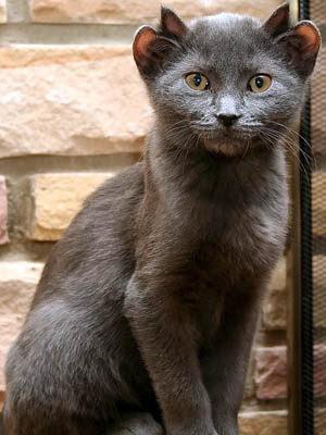 orejas de gato. orejas de gato. un gato de