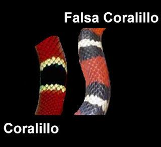 """""""serpientes Venenosas Mexicanas"""" Coralillo+y+falso+coralillo"""
