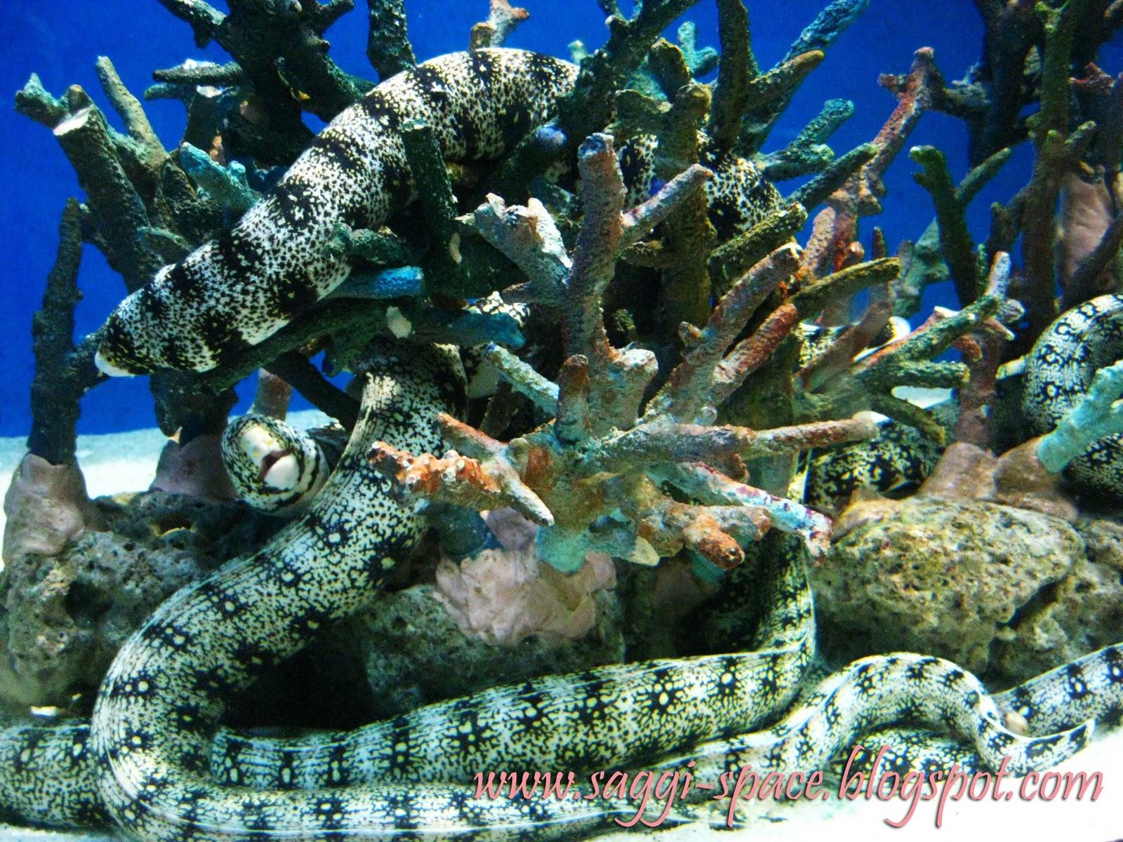 snowflake moray eel or igat