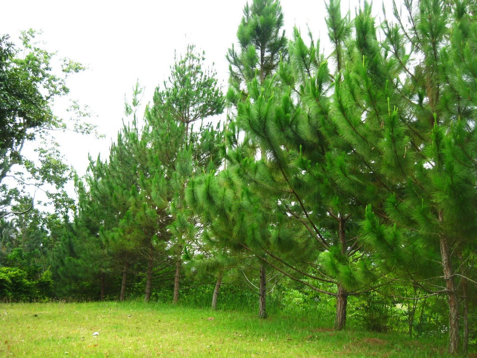 pine tree resort
