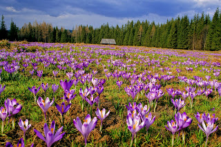 Crocuses, Chocholowska Valley, Tatra National Park, Poland