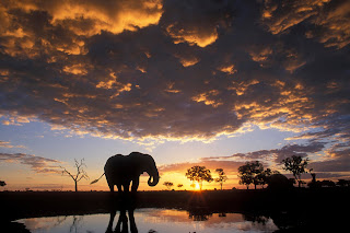 Elephant Silhouetted at Sunset, Chobe National Park, Botswana