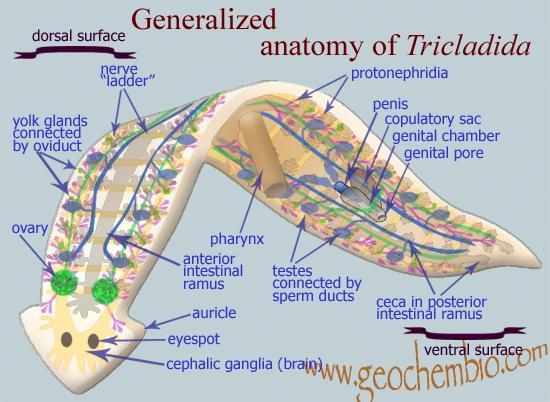La planaria (o la regeneración a la enésima potencia) | Conocer Ciencia