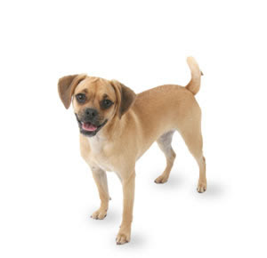 interested in more information about puggles , visit: www.puggle.org