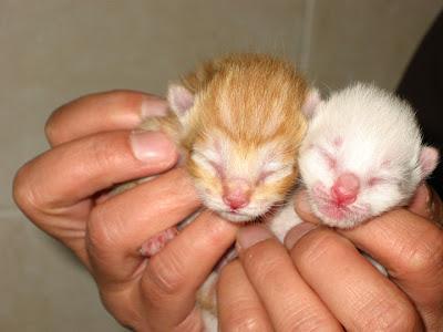 KAT - Gatinha branca nascida a 26 de Abril 09 para ADOPÇÃO 180-8016_IMG