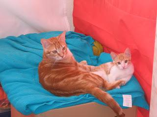 Star e Samantha > Duas gatinhas pequerruchas para adopção! IMG_1305