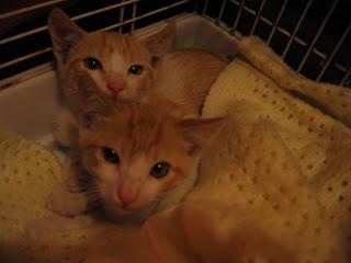 Star e Samantha > Duas gatinhas pequerruchas para adopção! IMG_1103