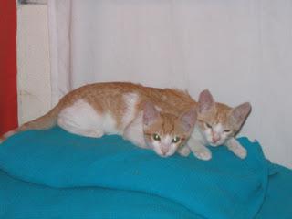Star e Samantha > Duas gatinhas pequerruchas para adopção! IMG_1228
