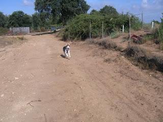 Alberto, cruzado de husky, 3 anos, Margem Sul Dovskapets+057
