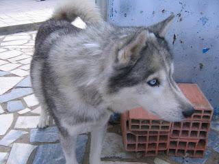 Bóris, Husky Siberiano, Macho, 9 anos, Margem Sul Dovskapets+061