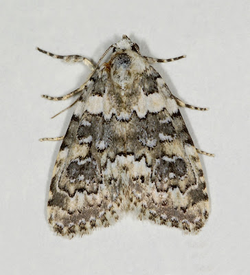 Marbled Beauty (Cryphia domestica)