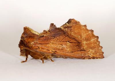 Coxcomb Prominent Ptilodon capucina