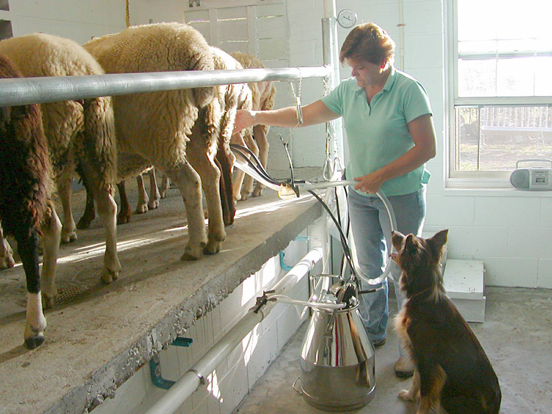 Morning milking with Dixie, a red tri Border Collie.