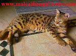 Baka Kucing Bengal Dan Parsi