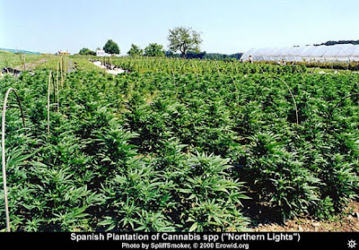 [Image: cannabis_field1.jpg]