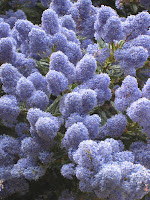 Ceanothus close up