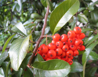 Red berries on a shrub in the garden