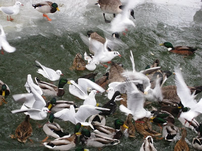 Ducks and gulls converging on bread thrown to them in the river