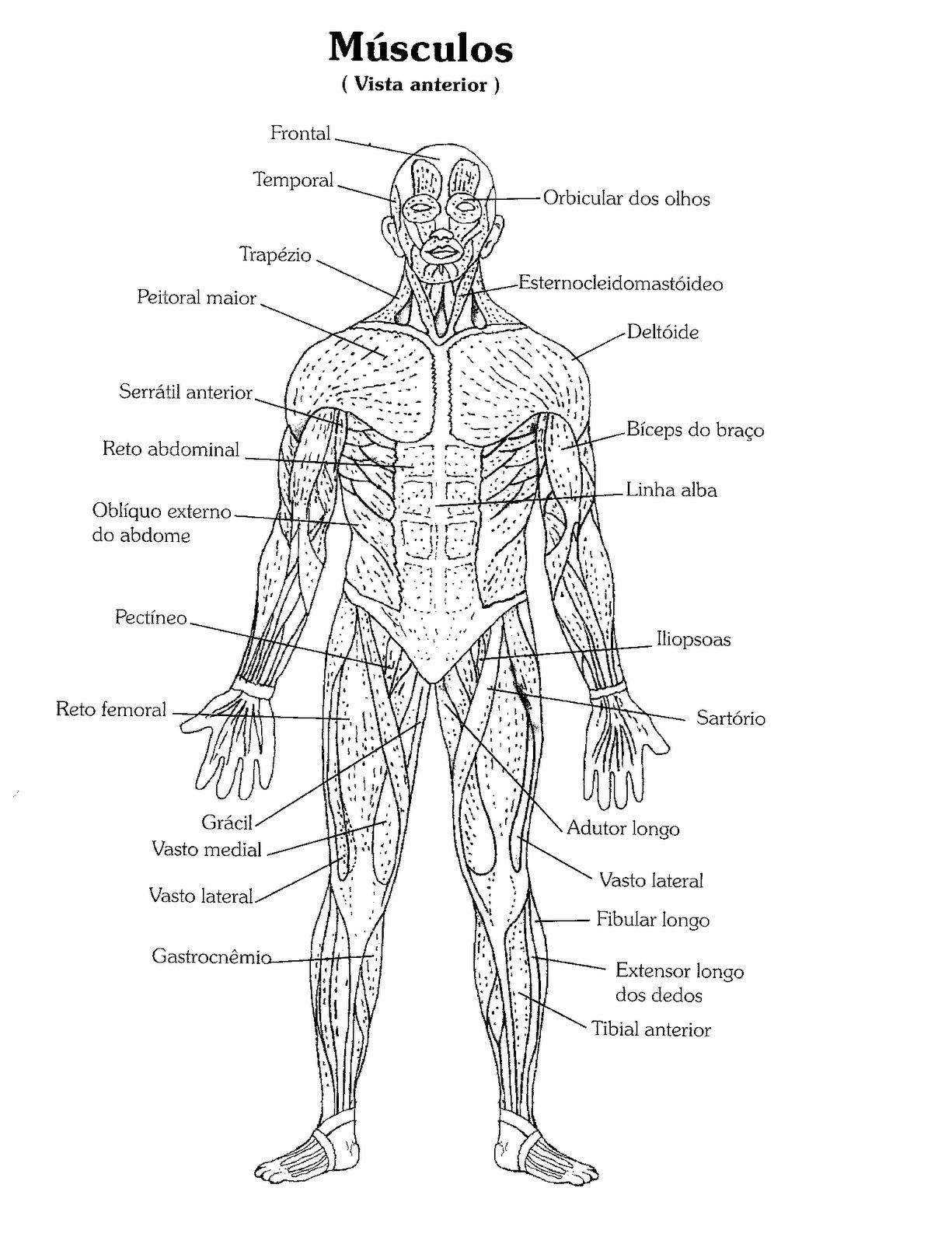 Atractivo Músculos Humanos Para Colorear Colección - Anatomía de Las ...