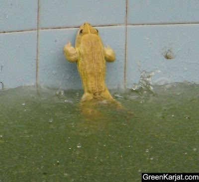 white frog jumping