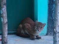 kucing mas