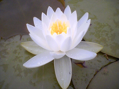 Flower history the lotus is the national flower of both vietnam and india in india the lotus flower has made its way deep into religious beliefs and in national folklore mightylinksfo