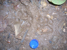 Jungle Cat Tracks
