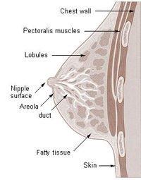 anatomi Mamae(payudara)