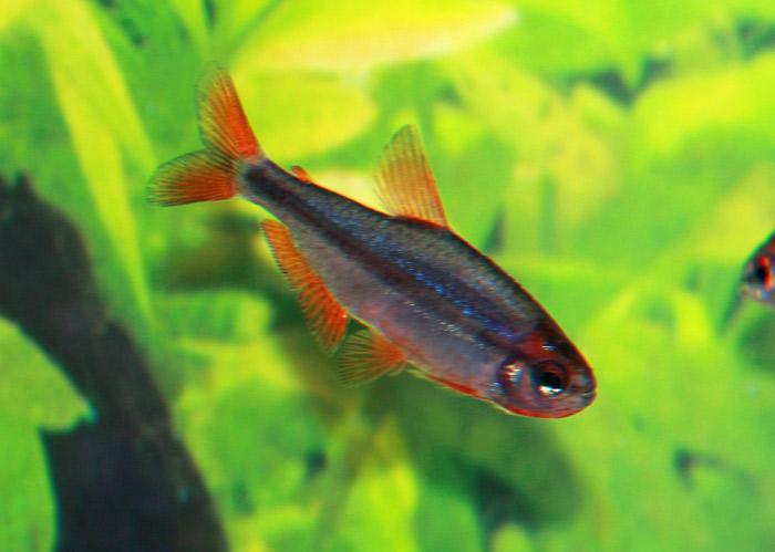 Image Gallery Tetra Species