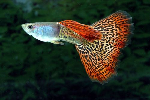 The Guppy belongs to the Livebearer group and will give birth to free ...