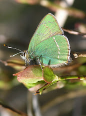 Green Hairstreak taken near Top O'th Knoll
