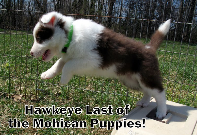 Hawkeye Last of the Mohicans' Puppies
