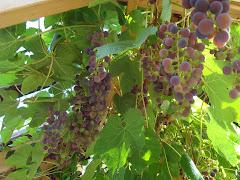 Goda vindruvor