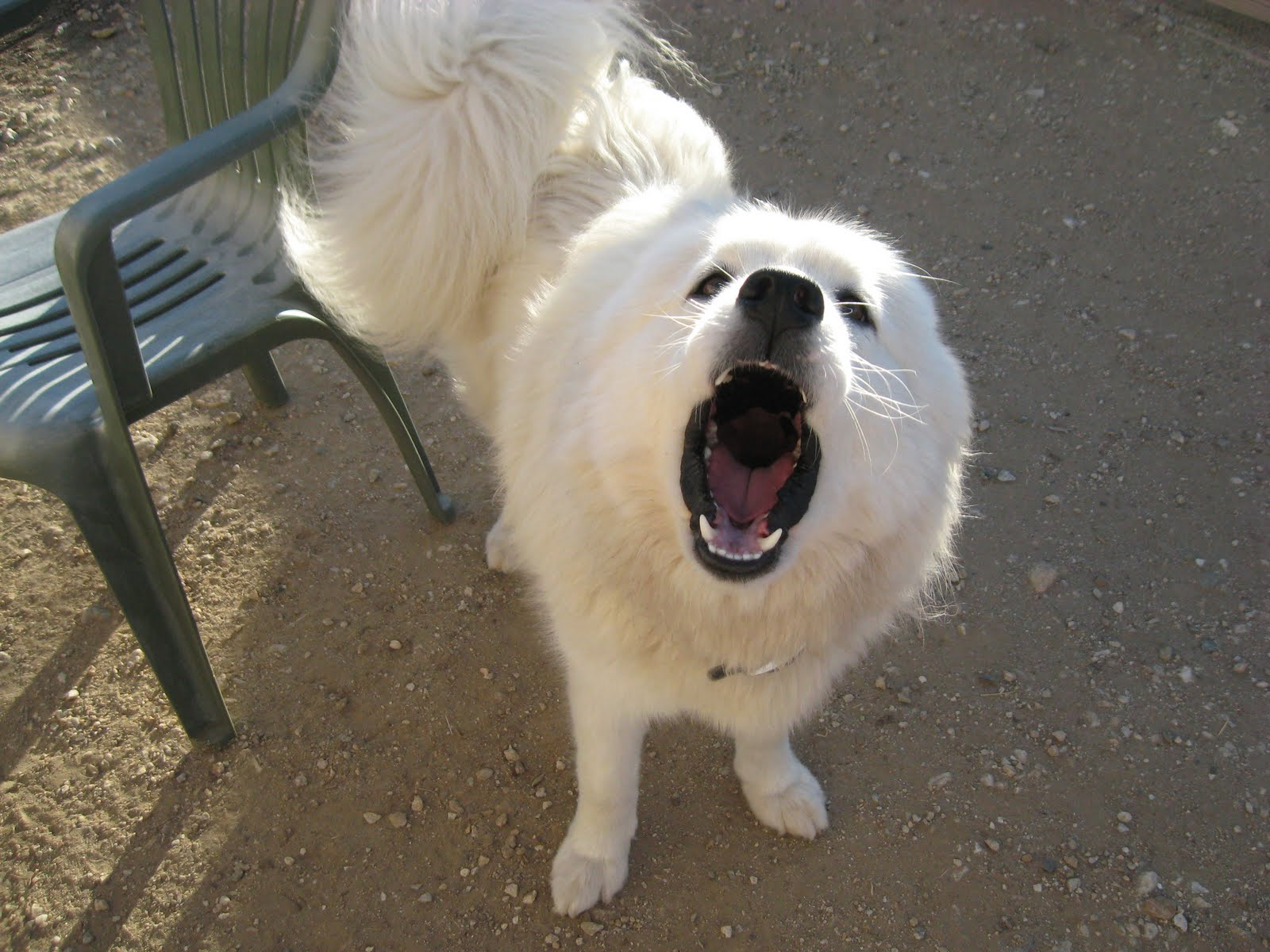 Dog Deep Bark Samoyed