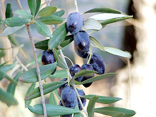 Olives in Latrun Monastery garden