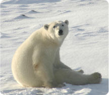 This regal bear is threatend by global warming