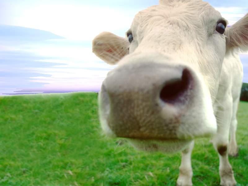 Mataría al de arriba porque... [Juego] - Página 60 Vaca