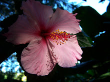 HIBISCO