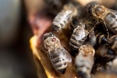 Varroakvalster på bi