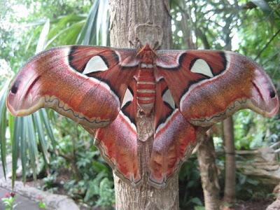 http://4.bp.blogspot.com/_N-lLFhD7bxE/S8Ojd8jH-5I/AAAAAAAADYU/L_-8GzNIoSE/s640/Atlas+Moth+-+World%27s+biggest+bugs_resize.jpg