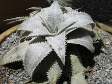 Dyckia sp (Yes, still a nameless one.)
