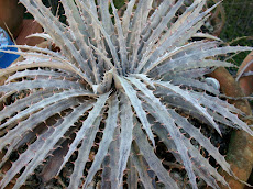 Those magnific Dyckia Hybrids have a distintive role in preserving the species.