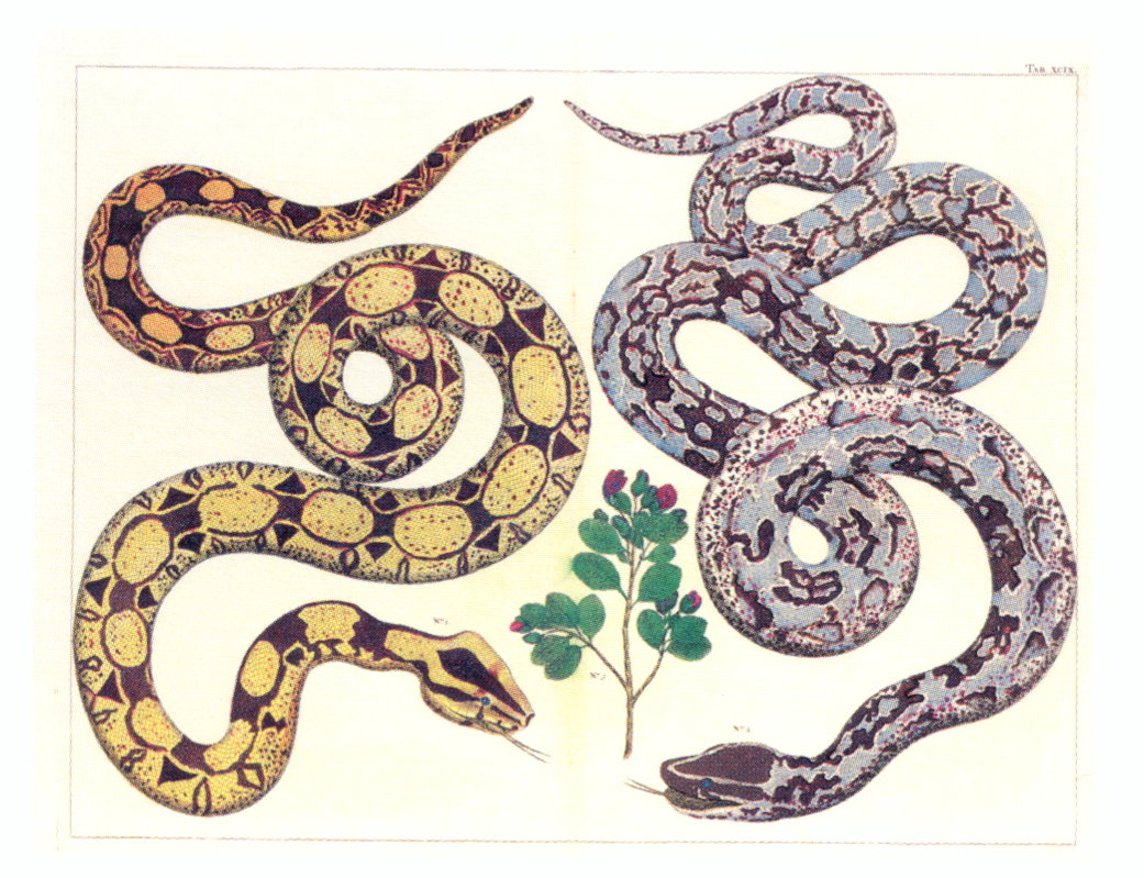NATURAL CURIOSITIES FROM THE CABINET OF ALBERTUS SEBA. COMMON BOA AND BOINE  SNAKE.