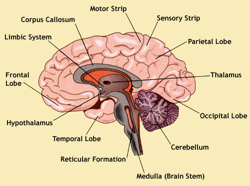basic health parts and functions of our brains