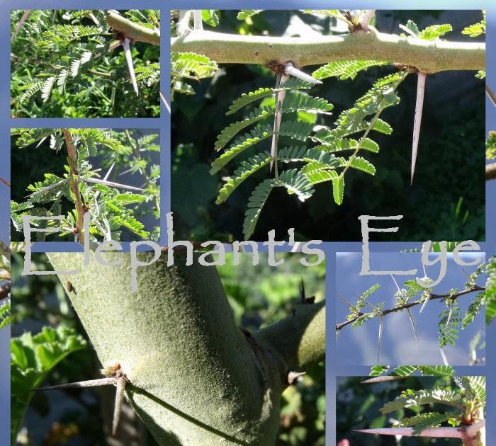 Elephant 39 S Eye Fever Tree Umbrella Thorn Mimosa Port