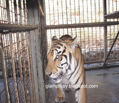 Zoobic tiger